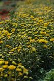 Chrysanthemenshow Stockbild