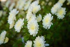 Chrysanthemenweiß Lizenzfreie Stockfotos