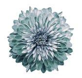 Chrysanthemenweißtürkis Blühen Sie auf lokalisiertem weißem Hintergrund mit Beschneidungspfad ohne Schatten Nahaufnahme Für Ausle stockfotografie