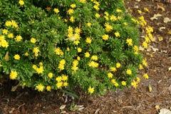 Chrysanthemoides Euryops, африканская маргаритка куста стоковая фотография