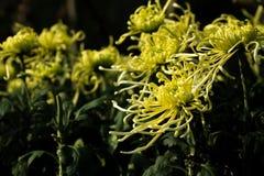 Chrysanthemumï ¼ ˆFireworksï ¼ ‰ Royalty-vrije Stock Fotografie