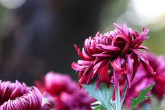 Chrysanthemumï ¼ ˆInulinï ¼ ‰ 库存图片