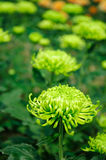 Chrysanthemumï-¼ ˆGreen Annaï-¼ ‰ Lizenzfreie Stockfotos