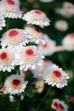 Chrysanthemum (finch) Stock Photo