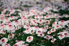 Chrysanthemum (finch) Stock Image