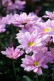 Chrysanthemum (grand rose) Royalty Free Stock Images