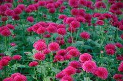 Chrysanthemum (lollipop purple) Stock Images