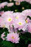 Chrysanthemum (monalisa rosy) Royalty Free Stock Images