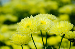 Chrysanthemum (monalisa yellow) Stock Photos