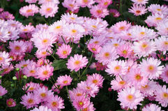 Chrysanthemum (samos dark) Royalty Free Stock Image