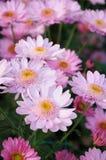 Chrysanthemum (samos dark) Stock Photography