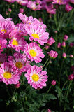 Chrysanthemum (Southern agricultural Purpure) Stock Photo