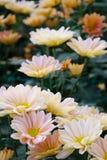 Chrysanthemum �The South Shannon Xi Yun� Stock Photo