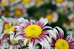 Chrysanthemum (windmill) Stock Images