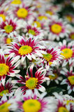 Chrysanthemum (windmill) Royalty Free Stock Images