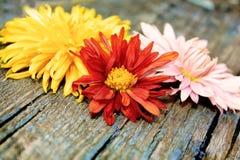 Chrysanthemum över trä Arkivbild