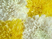 Chrysanthemum 1. Four flowers and two colors royalty free stock photography