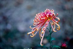 chrysanthemum Fotografia de Stock Royalty Free