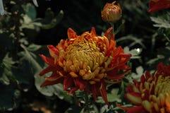 Free Chrysanthemum Royalty Free Stock Images - 107043219