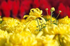 Chrysanthemum. Yellow mum flowers are in full bloom Stock Photo