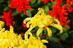 Chrysanthemum. Yellow mum flowers are in full bloom Royalty Free Stock Photography