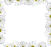 chrysanthemum royaltyfria foton