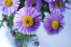 Chrysanthemum. Bunch of chrysanthemum flowers with green leaves Royalty Free Stock Photography