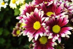 chrysanthemum Arkivfoton