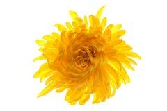 Chrysanthemum. Beautiful autumn flower chrysanthemum. Macro Stock Photo