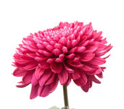 Chrysanthemum Photographie stock libre de droits