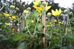 Chrysanthemum Photo libre de droits