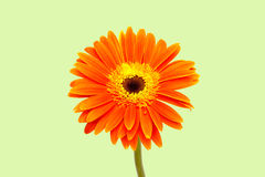 Free Chrysanthemum Stock Photos - 13200433