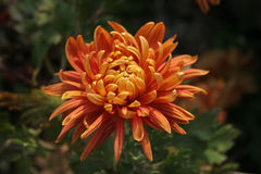 Chrysanthemum Photo stock