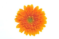 Chrysanthemum. Orange Chrysanthemum with a white background Royalty Free Stock Photography