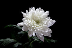 Chrysanthemum Photos stock
