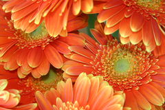 Chrysanthemum. A sheaf of chrysanthemums with powerful orange red and yellow colour Royalty Free Stock Photo