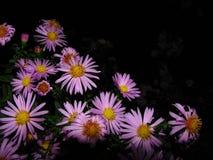 chrysanthemum royaltyfria bilder