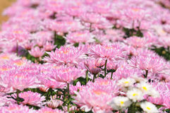 Chrysanthemum. Pink flower as background, chrysanthemum in fall Stock Photos