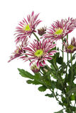 Chrysanthemum. Red and white chrysanthemum bouquet isolated on white. Low DOF stock image