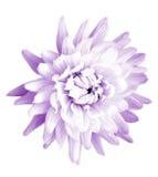 chrysanthemum Arkivbilder