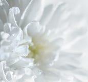 Chrysanthemum Royalty Free Stock Images