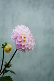 chrysanthemum Royalty Free Stock Images