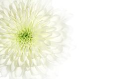 Chrysanthemum. Close-up over white background royalty free stock photo
