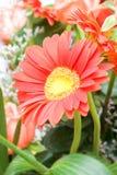 Chrysanthemum stock image