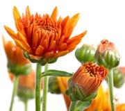 Chrysanthemum Photos stock
