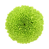 Chrysanthemum. Macro of a green chrysanthemum isolated on white background Royalty Free Stock Images