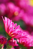 chrysanthemum Royaltyfri Bild