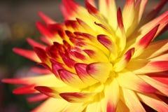 Chrysanthemum_2 Fotografía de archivo libre de regalías