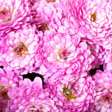 Chrysanthemum Royalty Free Stock Image