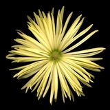 Chrysanthemum. A yellow chrysanthemum on a black background Stock Photography